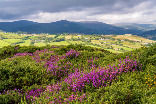 Scenic Irish countryside landscape with hills covered in purple heather, green farmlands and mountains in the background on a moody summer day.