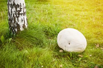 Giant puffball mushroom in forest