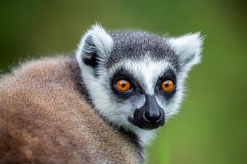 Ring-tailed lemur (Lemur catta), Anja Reserve, Madagascar