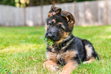 German Shepherd Puppy with leaves in mouth.