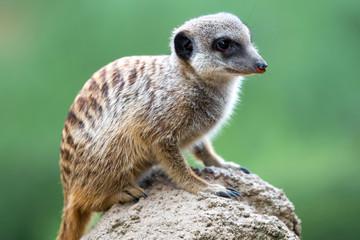 Meerkat (Suricata suricatta, Erdmännchen)