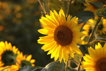 Wall Mural - Sunflower - Helianthus annuus in the field at sunset