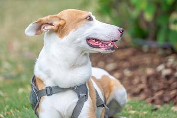 Seitliches Portrait Hund mit Geschirr