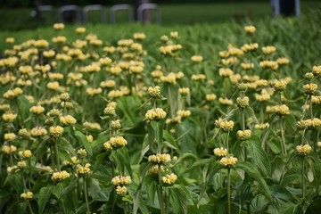 Phlomis Russeliana plant, commonly known as Turkish Sage, Jerusalem Sage or Sticky Jerusalem Sage, is a species of flowering plant in the mint family Lamiaceae.