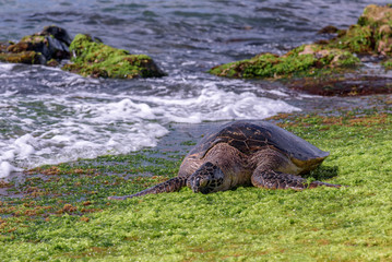 Hawaiian sea turtles enjoying the sun and vegetation on the shore of Laniakea beach, on the North shore of Oahu, Hawaii Wall mural