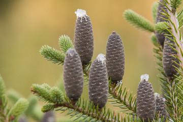 Obraz Abies balsamea or balsam fir detail - fototapety do salonu