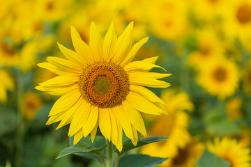 Foto op Canvas Meloen Sunflower flower for use as a background.
