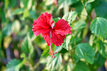 Magenta hibiscus flower. Red petal blossom flowers.