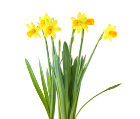 Door stickers Narcissus Daffodils. Yellow narcissus flowers isolated on a white background.