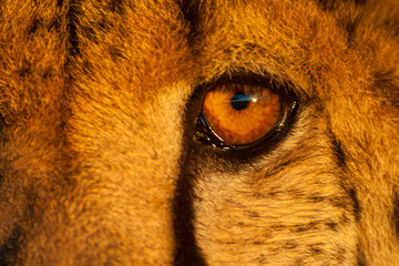 A close up of a leopard's eye taken as the sun sets