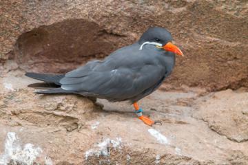 Inca tern (Larosterna inca, Inka-Seeschwalbe, Inkaseeschwalbe)