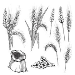 Vector hand drawn wheat ears Drawing of bunch of grain ears. Cereal illustration in vintage style. wheat grain,granule, kernel,corn,rye,barley,oats,pic,buckwheat,grass,bran