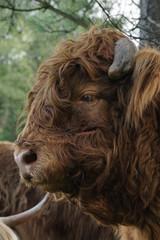 Highland cow - portrait