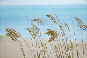 Photo of beachgrass Myrtle Beach South Carolina USA