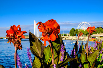 Red Canna Indica lily flower on background of beautiful Lake Geneva. Close up