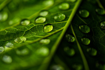 Water drops on leaf , green leaf with many water drops. Wall mural