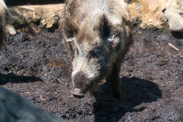 View of wild hog pig walking through mud outside during warm day time. Zoo visit attraction for tourists and families