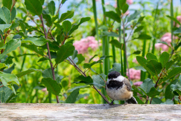 This chickadee hopes it's cute enough to feed