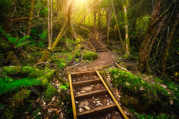 Beautiful path in lush tropical rainforest jungle in Tasman peninsula, Tasmania, Australia. The ancient jurassic age jungle is part of three capes track, famous bush walking of Tasmania, Australia.