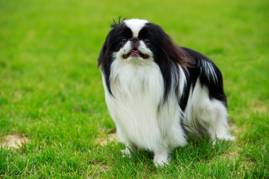 Japanese chin breed dog