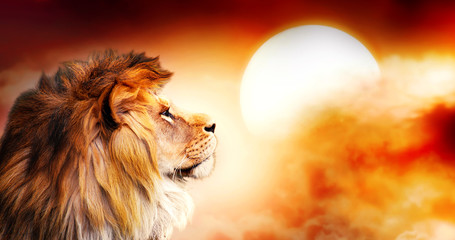 African lion and sunset in Africa. African savannah landscape theme, king of animals. Spectacular warm sun light and dramatic red cloudy sky. Proud dreaming fantasy lion in savanna looking forward.