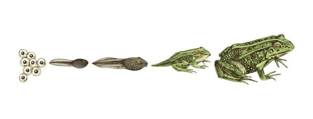 Hand drawn colorful frog metamorphosis