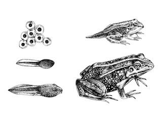 Hand drawn frog metamorphosis
