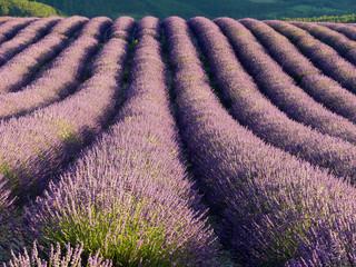Aluminium Prints Lavender champs de lavande