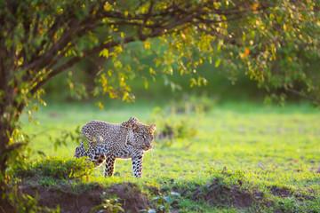 Leopard (Panthera pardus), Masai Mara National Reserve, Kenya, Africa.