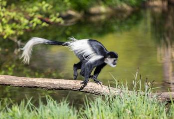 Black-and-white monkey - guereza
