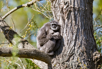 silvery Gibbon with a baby in a tree
