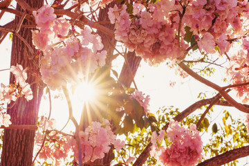 Photo of pink tabebuia flowers at sunrise.