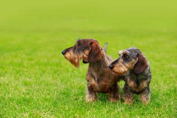 Dog breed Wire haired dachshund