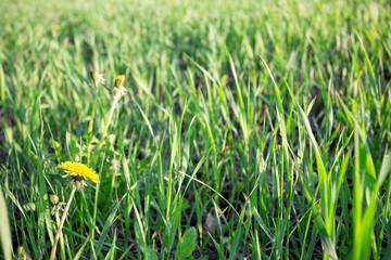 Bright green grass with dandelion