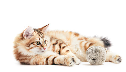 Siberian cat, a kitten playing with a cotton yarn. Isolated