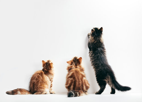 Three cats looking up the wall. Young kittens play time.