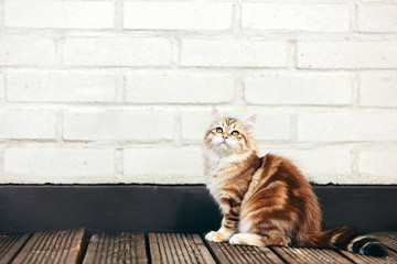 A kitten - Siberian cat sitting on wooden terrace, looking up
