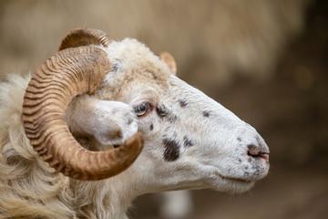 Sheep, Ovis aries. Side view of head