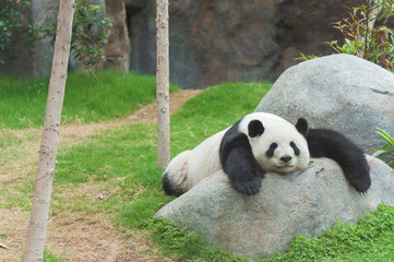 Adorable giant panda bear sleeping in zoo