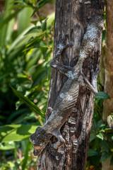 Giant leaf-tailed gecko, Uroplatus Fimbriatus,  in its natural habitat on Madagascar