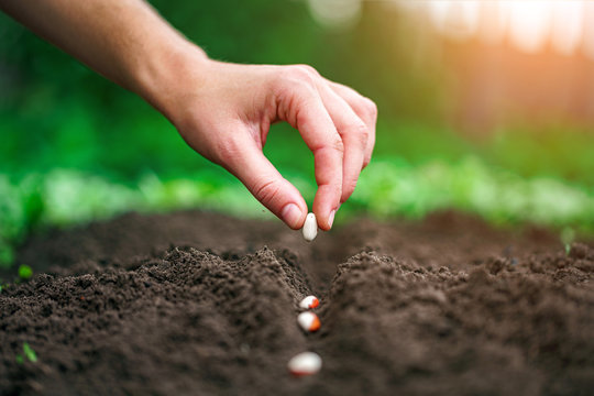 Hand planting beans seed in the vegetable garden. Growing vegetables
