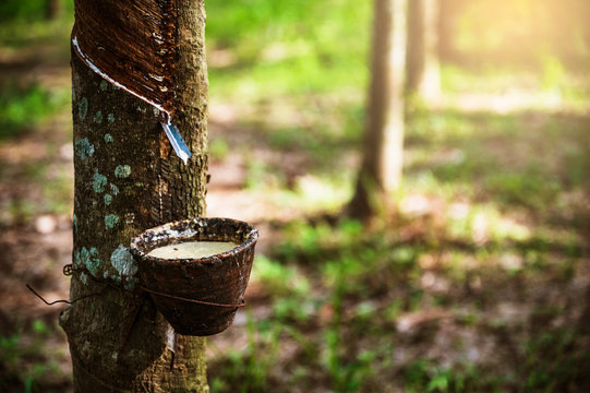 Tapping latex rubber tree, Rubber Latex extracted from rubber tree, harvest in Thailand.
