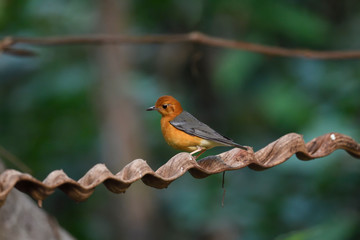 Orange-headed thrush on a tree branch