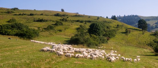 Flock of sheep on a mountain pasture