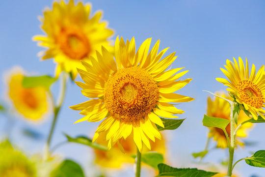 黄色が鮮やかな満開のひまわり