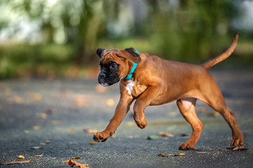 red boxer puppy running outdoors
