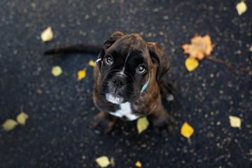 brindle german boxer puppy portrait top view