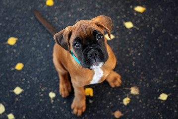 cute red boxer puppy portrait outdoors top view