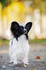 papillon dog posing outdoors in autumn