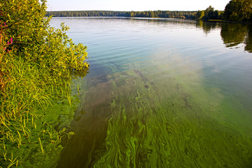 Wall Mural - Water landscape with blue-green algae surface. Natural view of lake, swamp or river with blooming Cyanobacteria. It is world environmental problem and ecology concept of polluted nature.